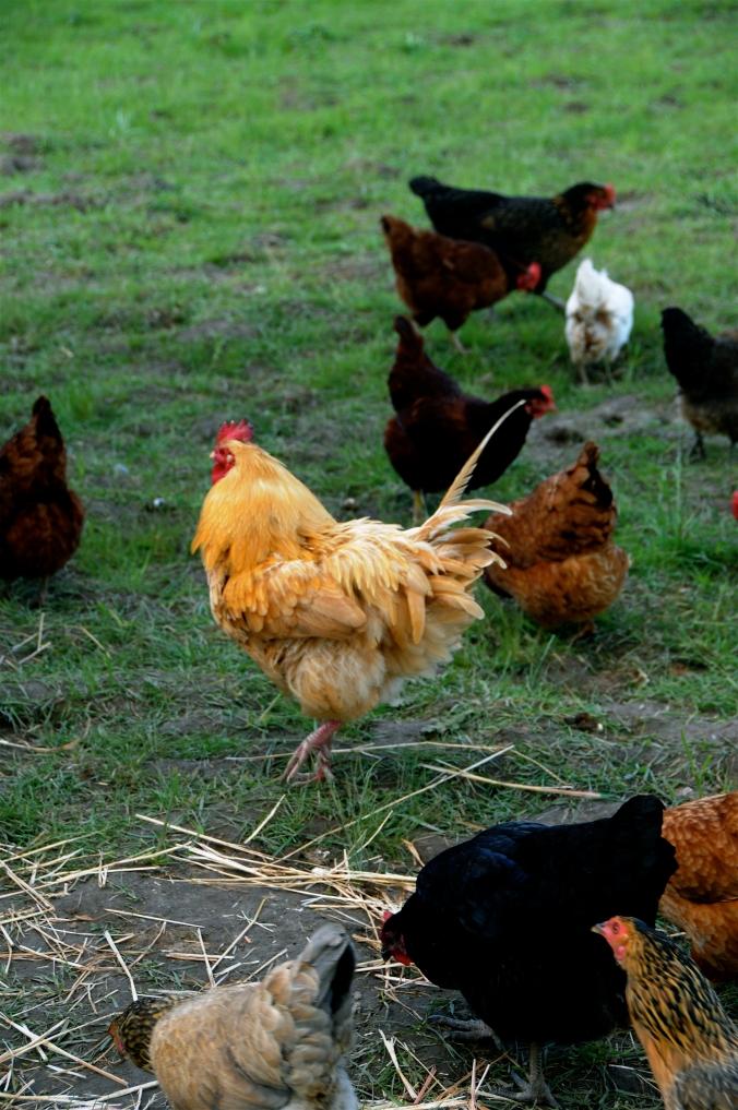 farm chickens