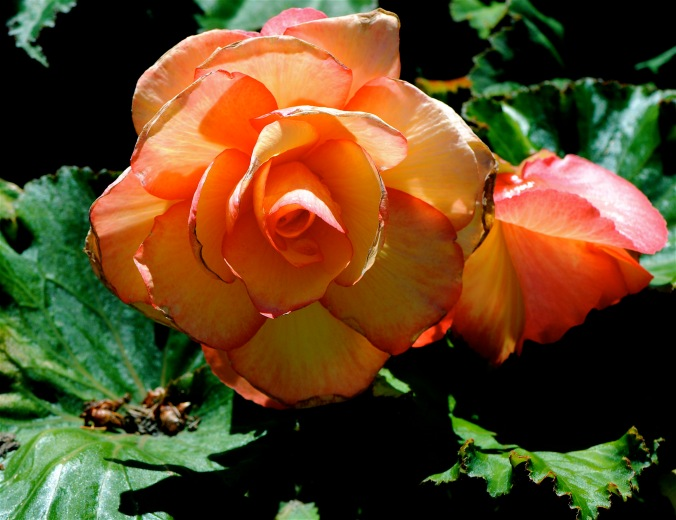 Butchart Garden rose