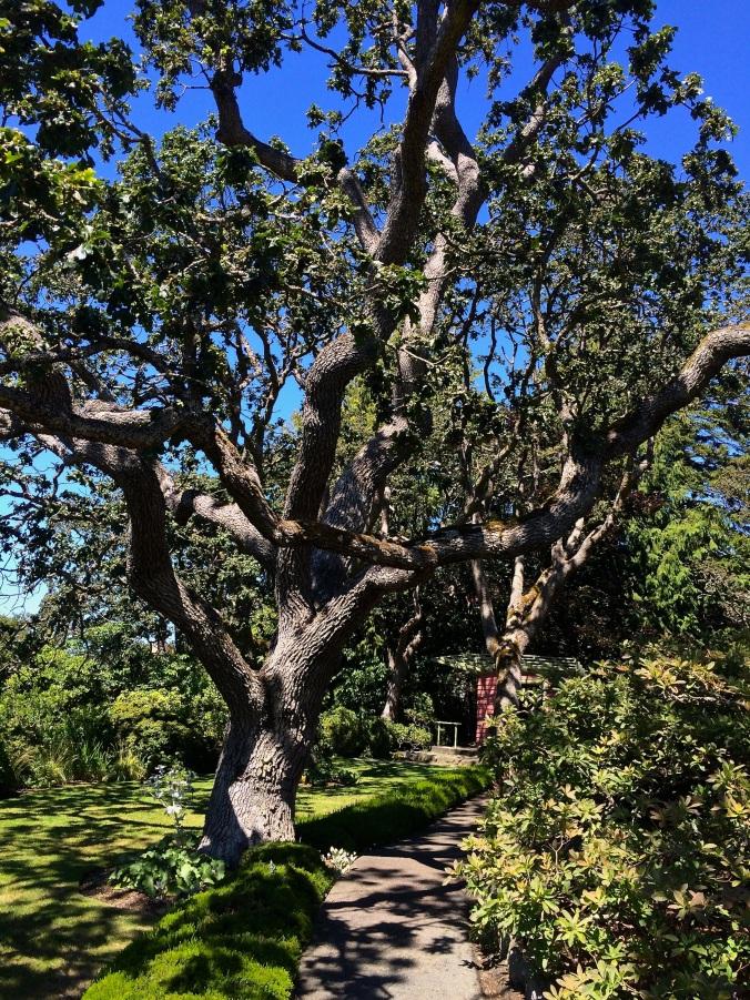 oak trees 2