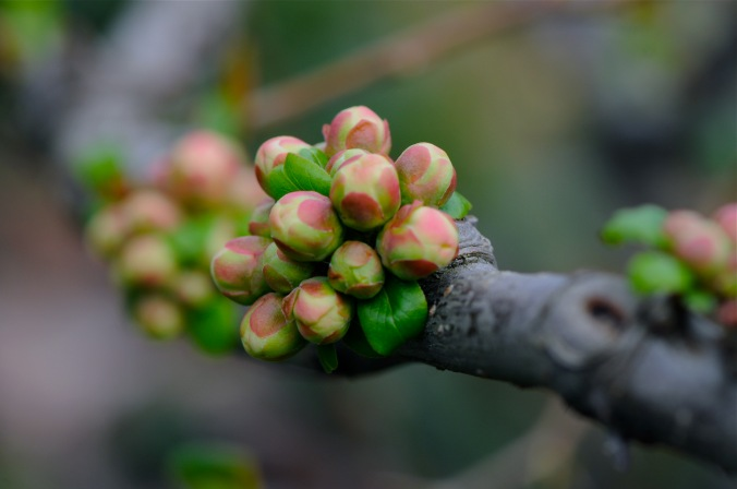 quince buds