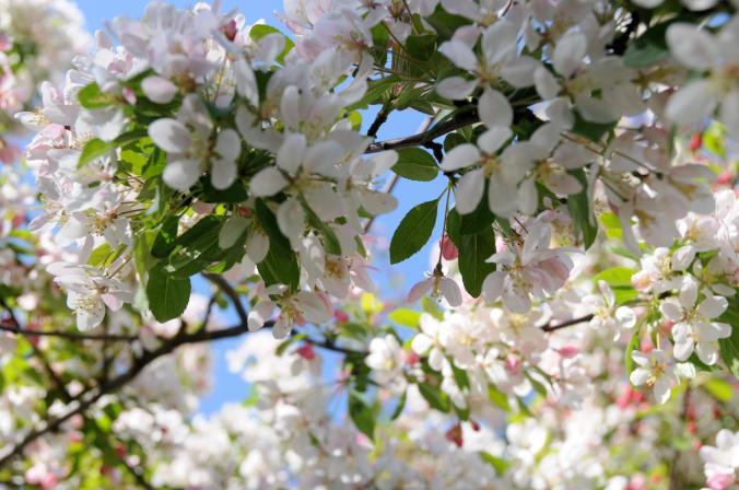 Catlin Apple Blossom