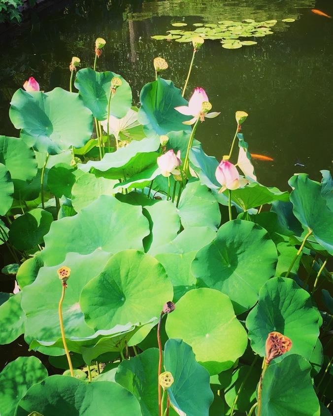 pond-plants